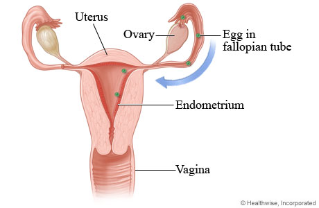Menstrual cycle: Lining of uterus thickens and egg is released